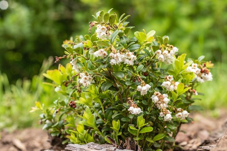 Blooming white bell-shaped flowers, cranberries, spring landscape, close up Banco de Imagens - 124699231