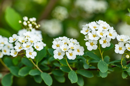 White flowers Spiraea vanhouttei on a Sunny day with dew drops, white grease Banco de Imagens - 124699236