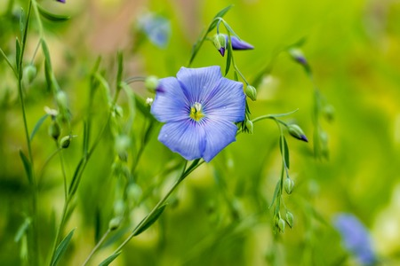 Close-up photo decorative large-flowered long-term flax Linum perenne.