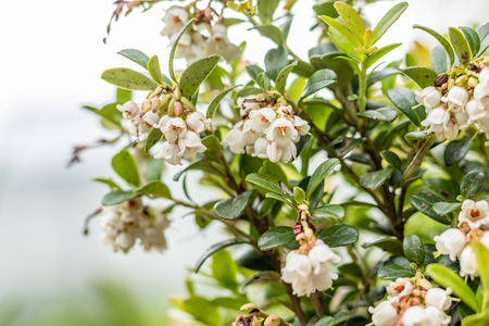 Blooming white bell-shaped flowers, cranberries, spring landscape, close up Banco de Imagens - 124699239