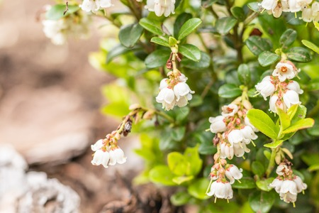 Blooming white bell-shaped flowers, cranberries, spring landscape, close up