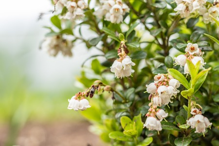 Blooming white bell-shaped flowers, cranberries, spring landscape, close up Banco de Imagens - 124686756