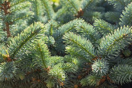 Les rameaux de l'épinette de Sitka Picea sitchensis au printemps. fermer