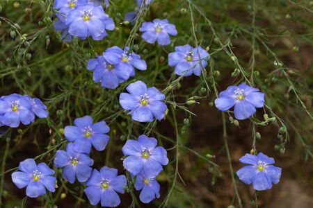 Blue flax flowers in a flower bed, summer. close-up
