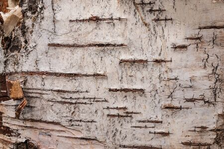 Birch bark, natural wood texture, as a background