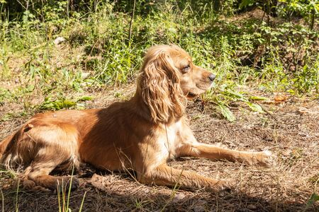 English Cocker Spaniel sitting in a pine forest