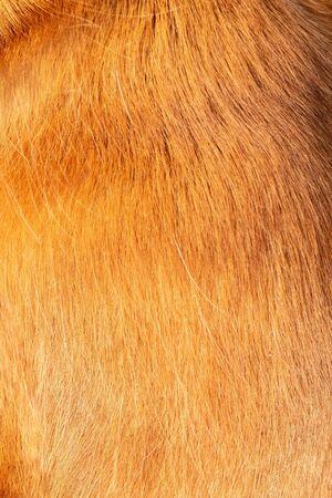 Close-up of shiny healthy fur English Cocker Spaniel. as background Banco de Imagens