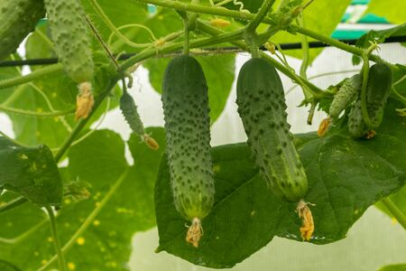 Young plant cucumber with yellow flowers. Juicy fresh cucumber close-up macro on the background of the leaves of a small backyard greenhouse. Tula region Russia