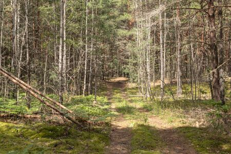 Picturesque forest of green pines, morning in the forest, beautiful forest landscape. Kaluga region Russia