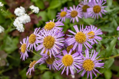 flower blue aster tongolensis. flowers of the garden on a beautiful summer day. Tula region Russia Banco de Imagens
