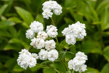 Achillea ptarmica ballerina many white flowers with green leaves. Blooms profusely on the plot. Tula region Russia