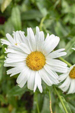 Beautiful Daisy flower. Full flowering Daisy Garden. Flowering chamomile, close up