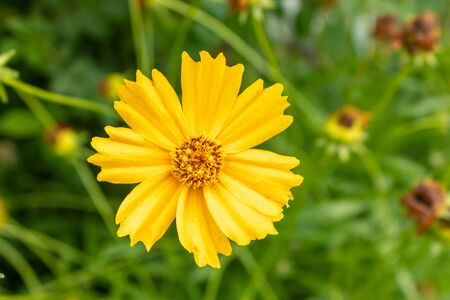 Bright yellow flower of Spearmint coreopsis Coreopsis lanceolata. close-up of coreopsis lanceolate blooms in mid-summer. Tula region Russia Banco de Imagens