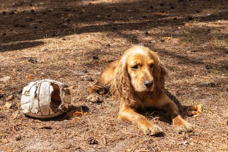 English Cocker Spaniel playing soccer ball in a pine forest