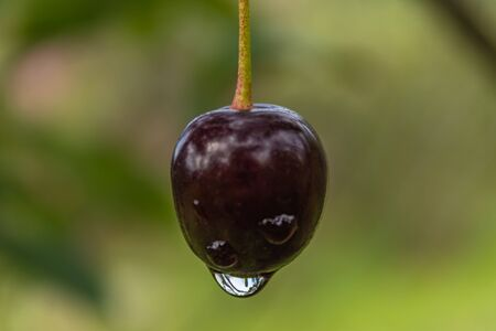 ripe cherry with a drop of rain. close-up