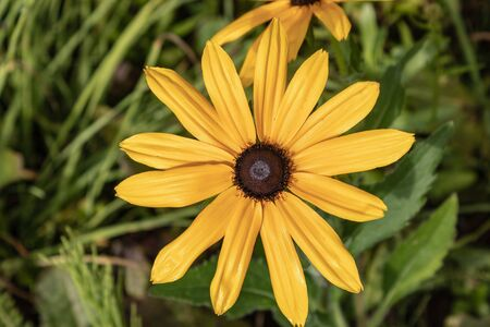 Rudbeckia fulgida VAR sullivantii Goldsturm is one of the most widely growing yellow daisies, close up