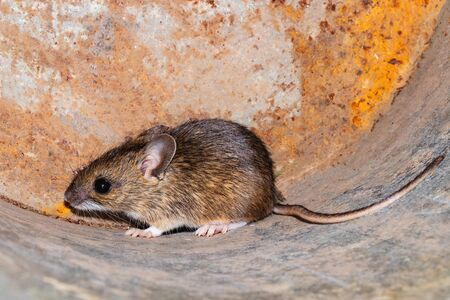Small young house mouse on rusty metal background. close-up Imagens