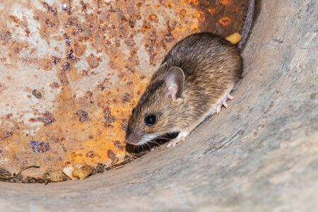 Small young house mouse on rusty metal background, close-up