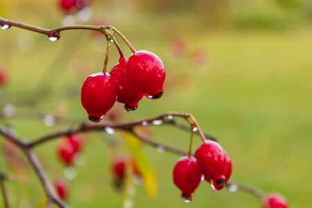 The red berries of the wild rose with raindrops in autumn. close up Imagens