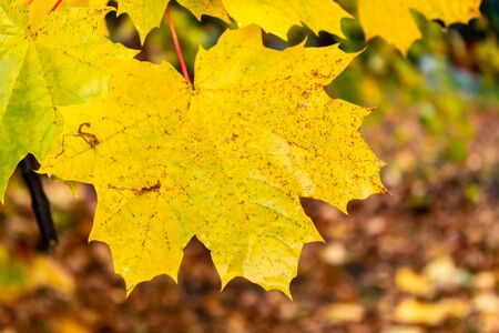 Yellow maple leaves on a blurred background. Golden leaves in autumn Park. close up Imagens