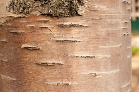 unusual color of birch bark, natural wood texture, as a background Zdjęcie Seryjne