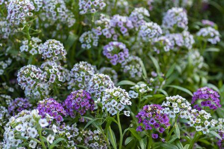 Alyssum, or lobularia maritimum marine. Garden plant. Park. Floral background. Purple flowers. close up
