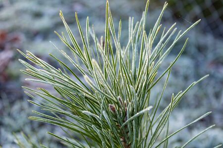 pine buds covered with frost after the first autumn frosts, close up Stockfoto