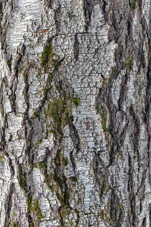 Birch bark, natural texture of an old birch trunk, as a background