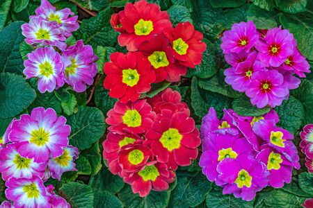 Multicolored primrose flowers for a country garden, top view. blooming primrose Primula vulgaris Stock Photo
