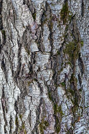Texture of ancient darkened birch with a natural pattern of the trunk surface. The tree structure naturally. Old rough wood bark, close up