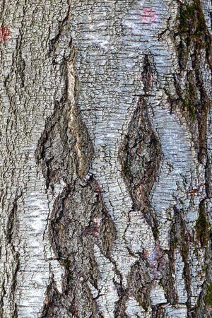 Tekstura starej przyciemnionej brzozy z naturalnym wzorem powierzchni pnia. Struktura drzewa naturalnie. Stara szorstka kora drewna, z bliska