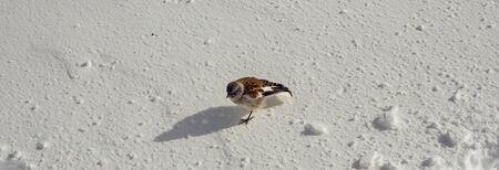 White-winged bullfinch-Montifringilla nivalis-in the snow. The photo was taken at the station of Gornergrat in Zermatt Switzerland Фото со стока