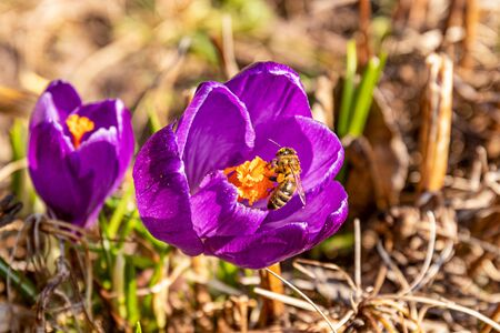 a bee that landed on a Crocus flower in the spring in the garden, close up