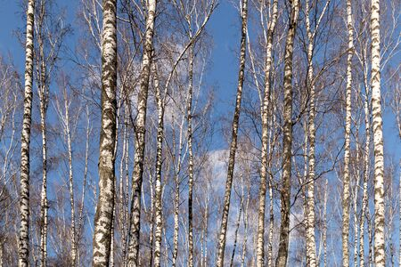 white birches against the blue sky in the park, spring landscape