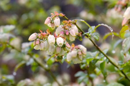 Flowering of a cultivated species of marsh blueberry, Vaccinium uliginosum. Фото со стока