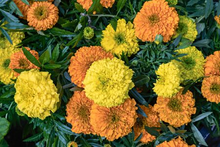 beautiful flower pattern of marigolds in the garden. Tagetes erecta, Mexican, Aztec or African marigolds Фото со стока