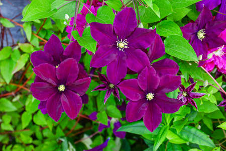 Beautiful purple clematis flower with leaves, close up Фото со стока