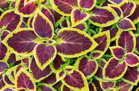 Coleus Blume is a red plant with yellow edges. close-up leaf texture on a flower bed. top view Фото со стока