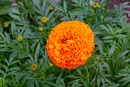 beautiful flower pattern of marigolds in the garden. Tagetes erecta, Mexican, Aztec or African marigolds. Close up