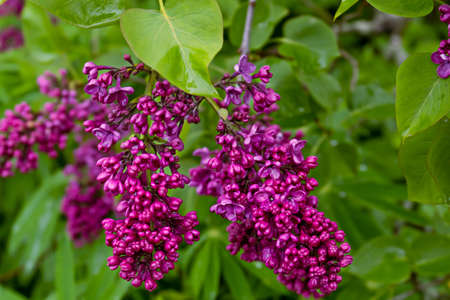 flowers of pink Syringa vulgaris, lilac or common lilac
