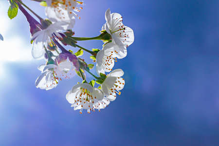 cherry blossoms on a Sunny background. Beautiful nature spring background with a branch of cherry blossoms, close up