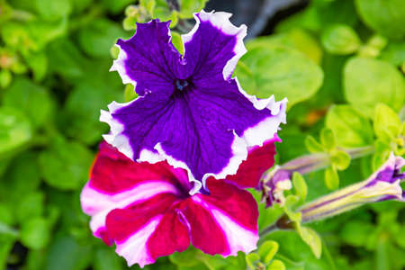 Petunia plant with a beautiful blue flower with a white border, close up
