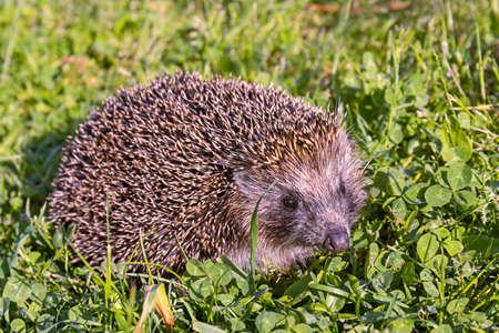 A Western European hedgehog-Erinaceus europaeus-walks on a green lawn, close up