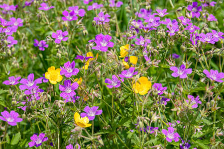 Purple wild-growing flowering forest plants Cranesbill or Geranium Sylvaticum in their natural habitat on a Sunny day. summer landscape