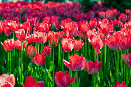 red tulips bloom in a flower bed, spring landscape