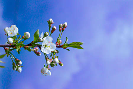 cherry blossoms on a Sunny background. Beautiful nature spring background with a branch of cherry blossoms. close up