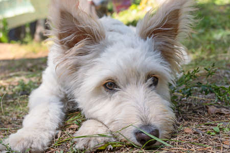 Cute white West highland Terrier dog against a green forest background. Фото со стока