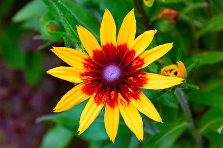 large yellow-red Bud of rudbeckia on a green background .bright colours, close up