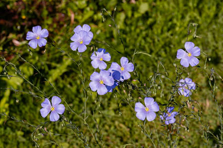 Flax, Linum usitatissimum, also known as common flax or linseed, is a member of the genus Linum in the family Linaceae, close up