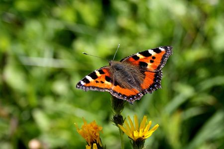 to flit: The beautiful red butterfly sits with the straightened wings on a yellow flower
